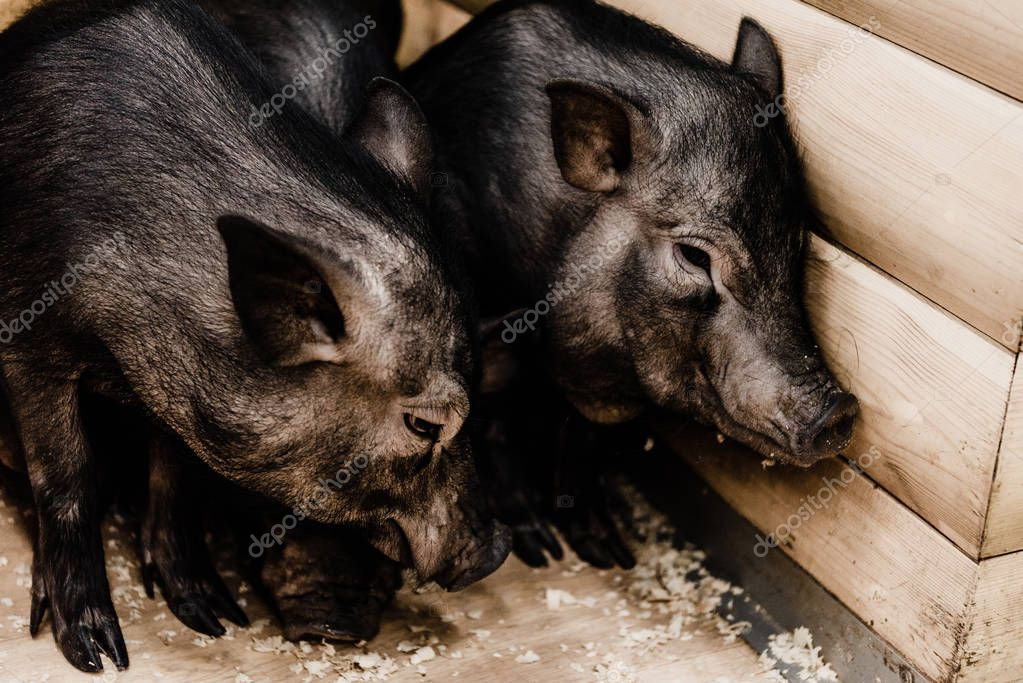 Adorable pigs standing on dirty floor stock vector