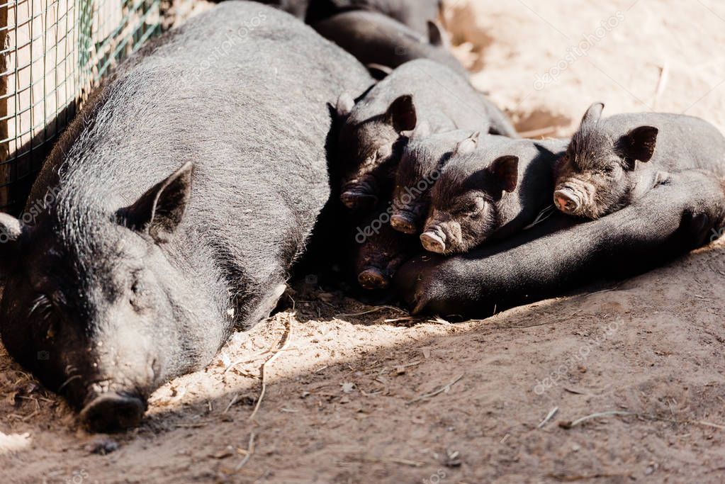 Cute baby pigs and big pig lying on ground stock vector