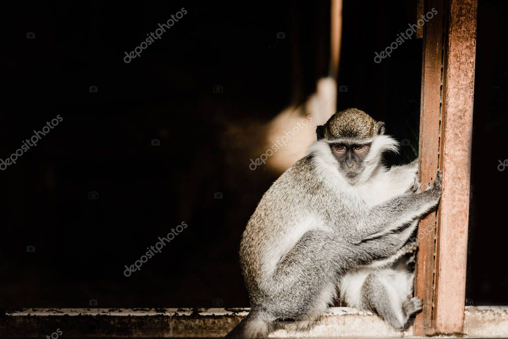 Cute and small chimpanzee sitting in zoo stock vector