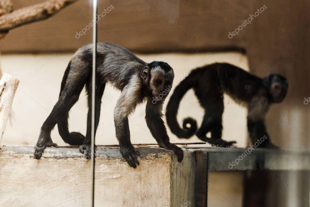 Selective focus of adorable monkeys in zoo stock vector