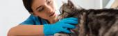 panoráma lövés figyelmes állatorvos vizsgálata aranyos skót egyenes macska