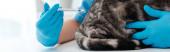Teilansicht des Tierarztes, der grauen Tabby-Katze eine Injektion verabreicht, Panoramaaufnahme