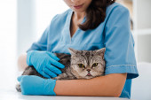 Fotografia cropped view of young veterinarian examining tabby scottish straight cat