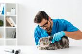 soustředěný veterinární lékař vyšetření tabby skotský rovný kočka se stetoskopem