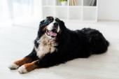 cute bernese mountain dog lying on floor in veterinary clinic