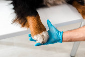 partial view of veterinarian holding paw of bernese mountain dog