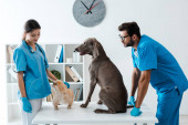 two young veterinarians standing near weimaraner and pekinese dogs sitting on table