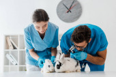 young, attentive veterinarians examining two cute rabbits with otoscope