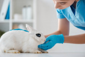 junger, aufmerksamer Tierarzt untersucht niedliches weißes Kaninchen, das auf dem Tisch sitzt