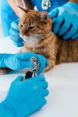 Fényképek levágott kilátás állatorvos gazdaság piros macska, miközben kolléga vágás karmok