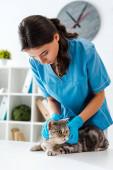 pozorný veterinární lékař vyšetření tabby skotský rovný kočka na stole