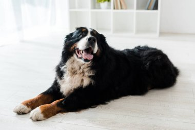 Cute bernese mountain dog lying on floor in veterinary clinic stock vector