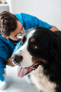 selective focus of veterinarian examining ear of bernese mointain dog with otoscope