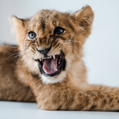 close up view of lion cub growling while lying on table in veterinary clinic