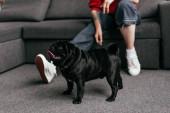 Ausgeschnittene Ansicht von Mops neben Mädchen mit Beinprothese im Wohnzimmer, selektiver Fokus