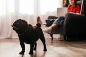 Szelektív fókusz a mopsz kutya és a nő műláb és laptop otthon