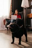 Selektiver Fokus von Mops und Frau mit Beinprothese und Laptop im Wohnzimmer