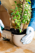 stříhaný z ženy v rukavicích držící lopatu se zemí při transplantaci rostliny