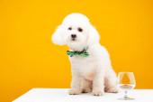 Fotografie Havaneser Hund in Fliege sitzt neben Weinglas mit Trockenfutter auf weißer Oberfläche isoliert auf gelb