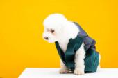 Havanský pes ve vestě sedí na bílém povrchu izolovaný na žluté