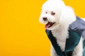 Roztomilý bišon havanský pes ve vestě izolované na žluté