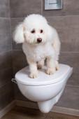 Fotografie Roztomilý havanský pes stojící na uzavřeném WC v koupelně