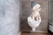Havanese kutya, WC papírba tekerve, zárt WC-n ülve a mosdóban.