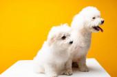 Roztomilý havanský psi odvracejí pohled na bílém povrchu izolované na žluté