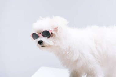 Havanese dog in sunglasses on white surface isolated on grey