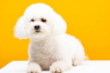 Cute bichon havanese dog on white surface isolated on yellow
