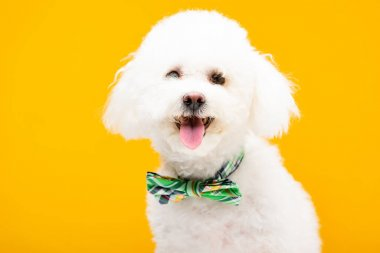 Cute bichon havanese dog in bow tie looking at camera isolated on yellow