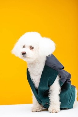 Cute bichon havanese dog in waistcoat sitting on white surface isolated on yellow