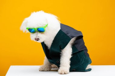 Fluffy havanese dog in waistcoat and sunglasses sitting on white surface isolated on yellow stock vector