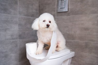 Bichon havanese dog sitting near roll of toilet paper on closed toilet in restroom