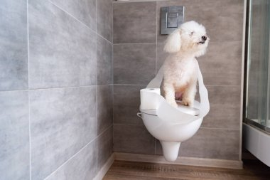 Havanese dog coiled up in toilet paper sitting on closed toilet in restroom