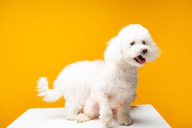 Two bichon havanese dogs on white surface isolated on yellow