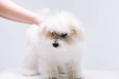 Cropped view of woman petting fluffy havanese dog on white surface isolated on grey