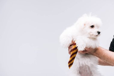 Cropped view of man holding havanese dog with striped tie isolated on grey