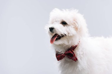 Bichon havanese dog with red bow tie sticking out tongue isolated on grey