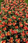 gyönyörű piros és sárga színes tulipán zöld levelekkel