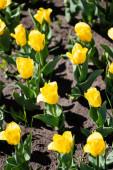 Fotografie krásné žluté barevné tulipány se zelenými listy