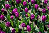 gyönyörű lila színű tulipán zöld levelekkel