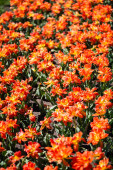 beautiful orange colorful tulips with green leaves
