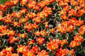 schöne gelbe und orangefarbene Tulpen mit grünen Blättern