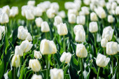 selective focus of beautiful white tulips with green leaves