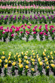 selective focus of colorful tulips field with green grass