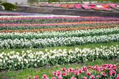 selektivní zaměření barevného tulipánového pole se zelenou trávou