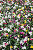 Fotografie beautiful colorful tulips field at daytime