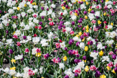 beautiful colorful tulips field at daytime
