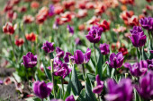 selective focus of beautiful red and purple tulips at daytime